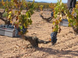 Old vines Monastrell