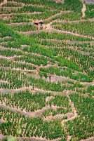 Steep granitic vineyards
