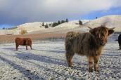 Burn Cottage Vineyard with Highland Cows