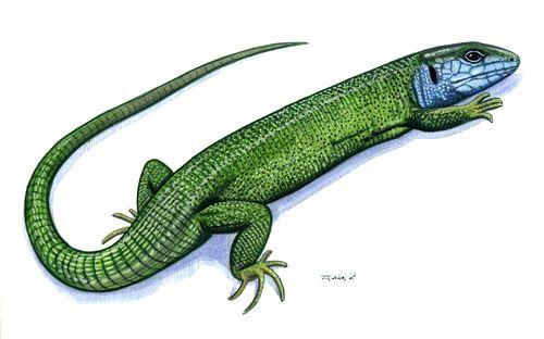 lizard graphic