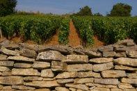 meursault vineyard4