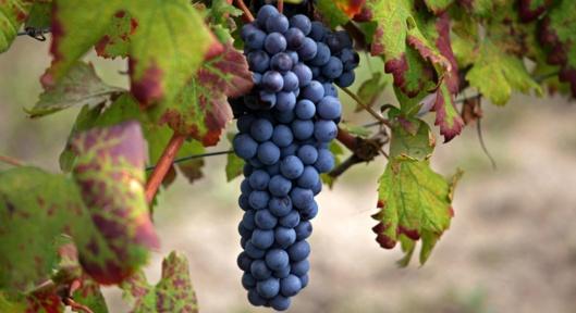 Nebbiolo-grape (Soumah)